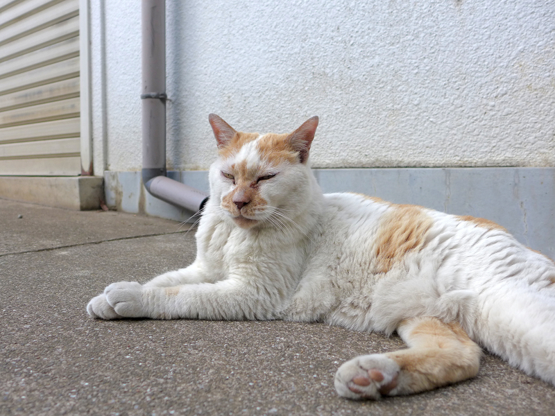 シャッター前の白茶猫2