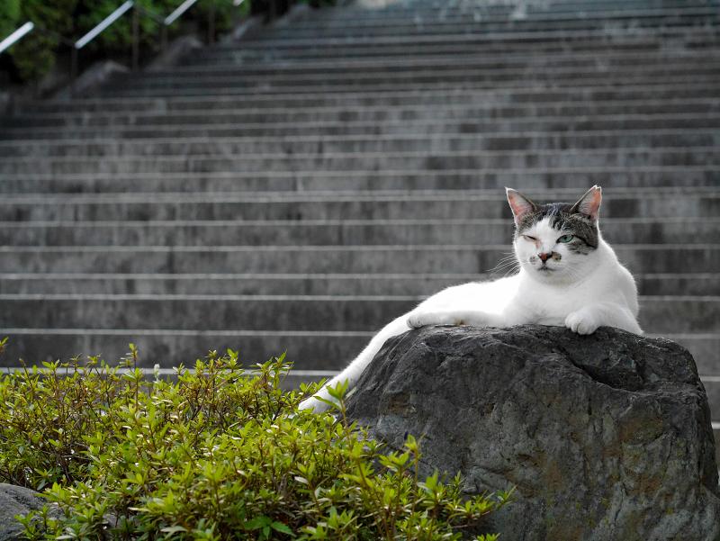 階段と岩と白キジ猫2
