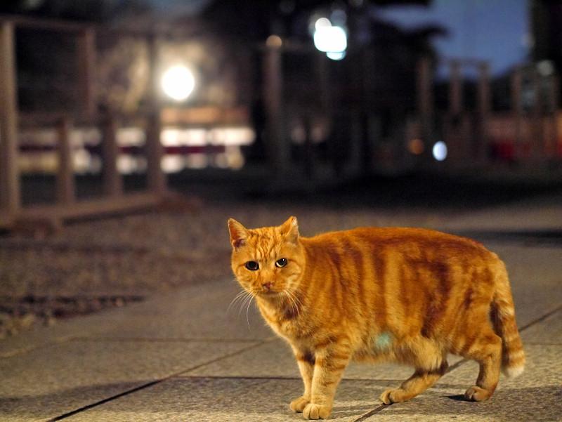 外灯とアメショー風猫2