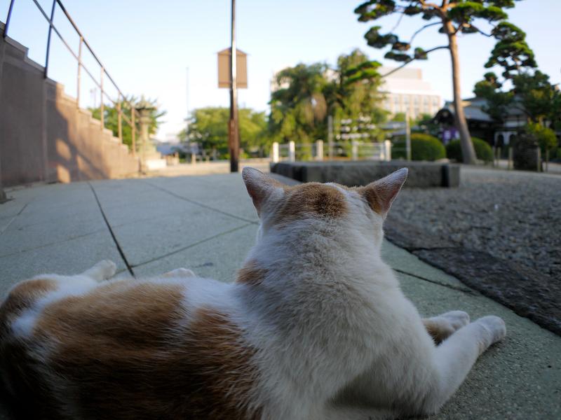 冷感シートと白茶猫3