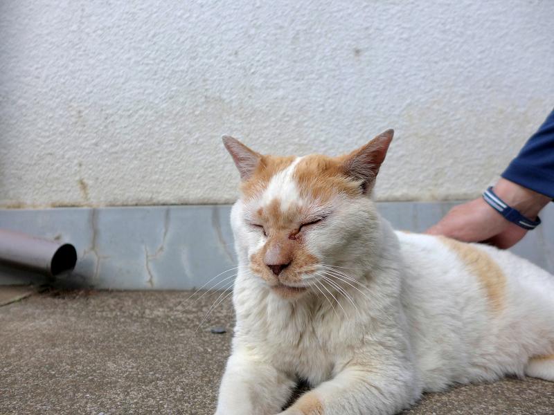シャッター前の白茶猫3