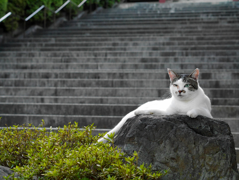階段と岩と白キジ猫3