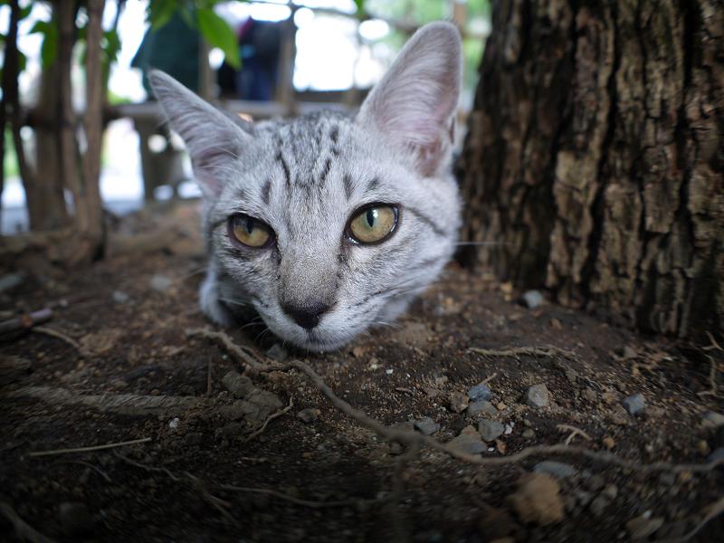 楠木下のサバトラ仔猫1
