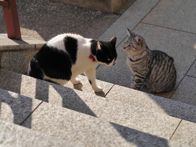 不愉快そうに歩く白黒猫1