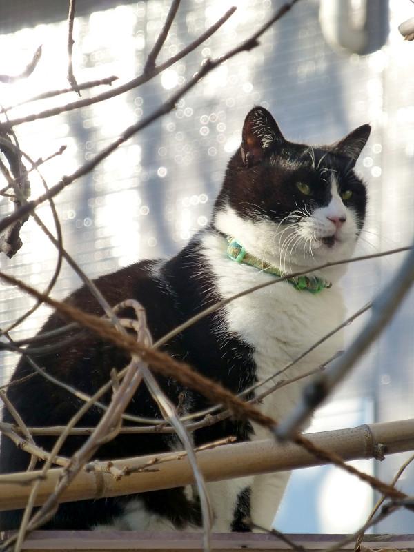 陽射しと枝と黒白猫1
