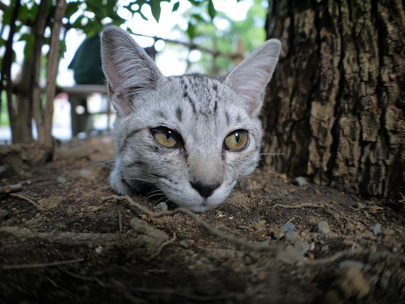 楠木下のサバトラ仔猫2