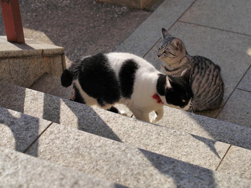 不愉快そうに歩く白黒猫2
