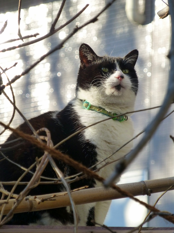 陽射しと枝と黒白猫2