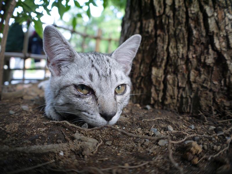 楠木下のサバトラ仔猫3
