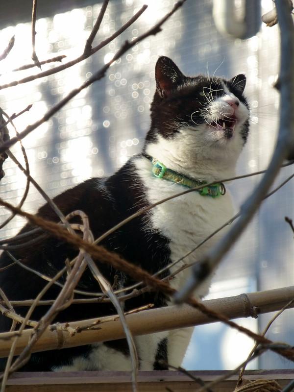 陽射しと枝と黒白猫3