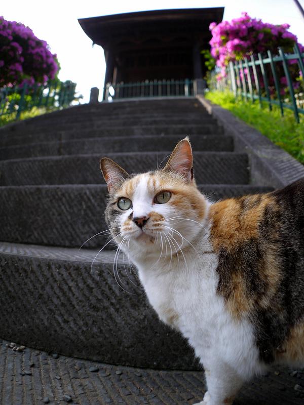 急階段下の三毛猫1