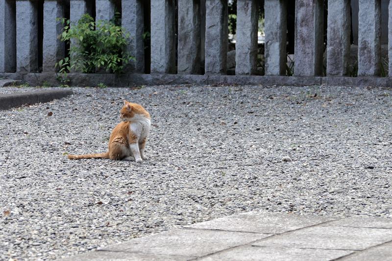 玉砂利境内を歩く茶白猫1