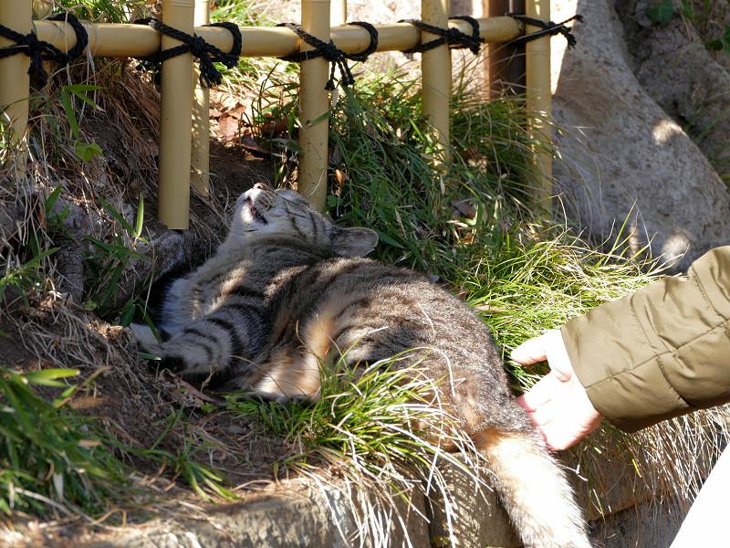 草むらでアクビをするキジトラ猫1