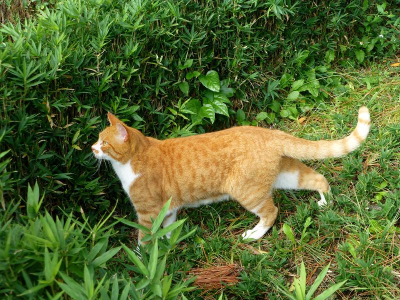 草むらを歩いて来た茶白猫1