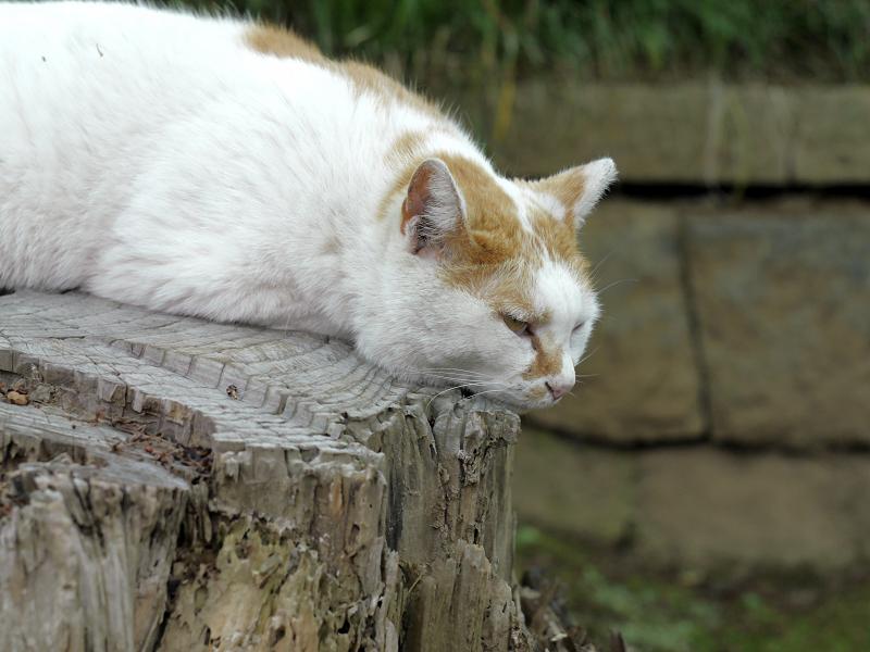 切り株上で頭を下げている白茶猫1