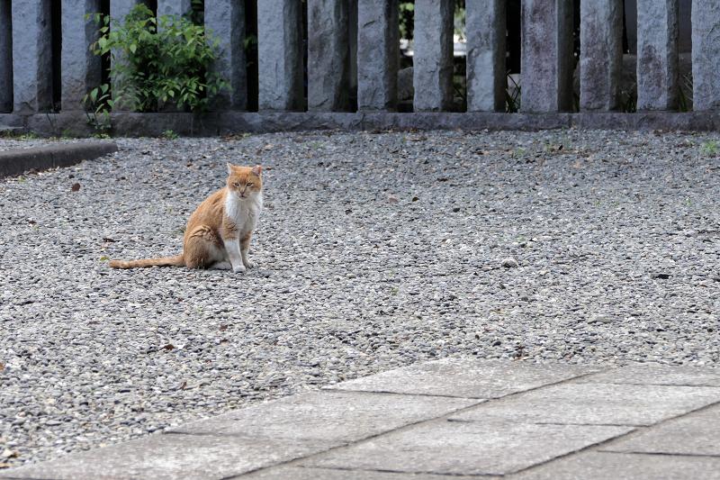 玉砂利境内を歩く茶白猫2