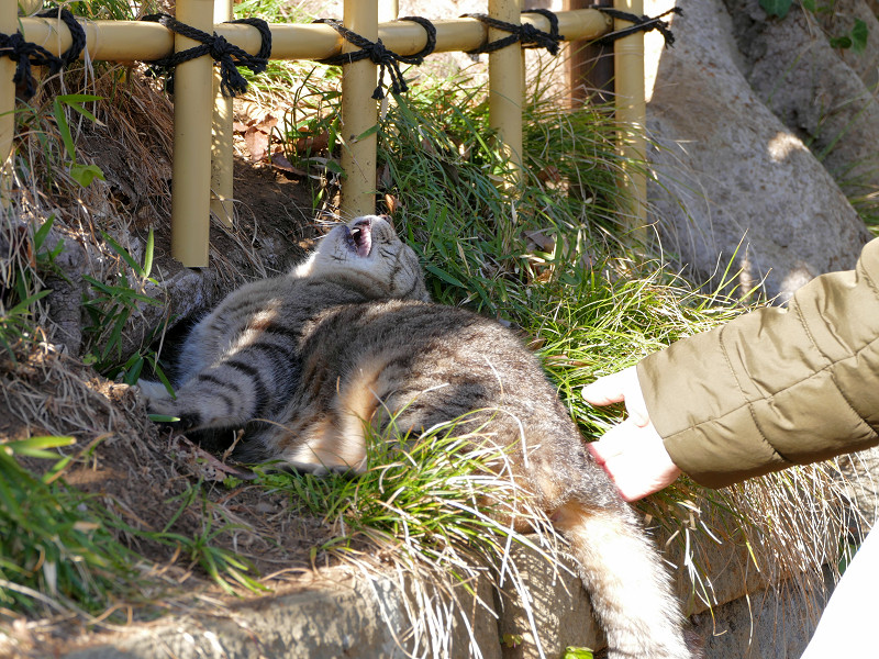 草むらでアクビをするキジトラ猫2