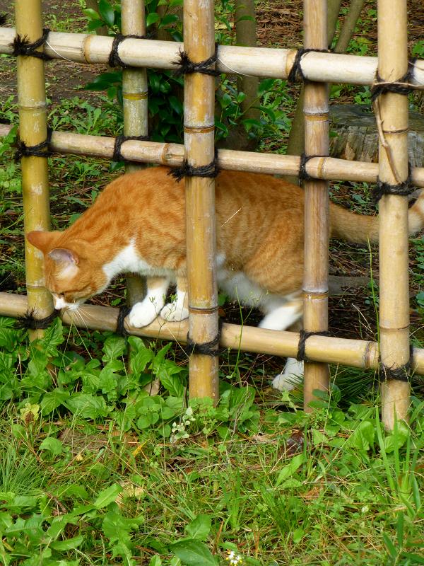 草むらを歩いて来た茶白猫2