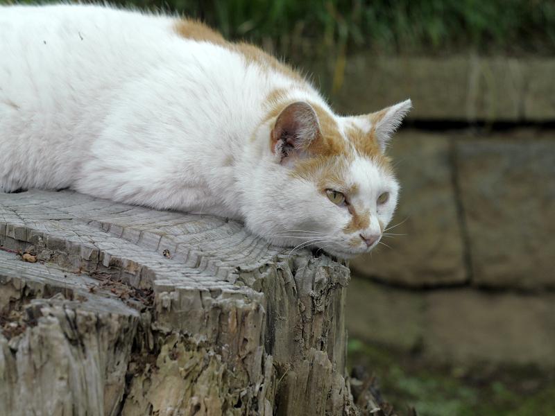 切り株上で頭を下げている白茶猫2