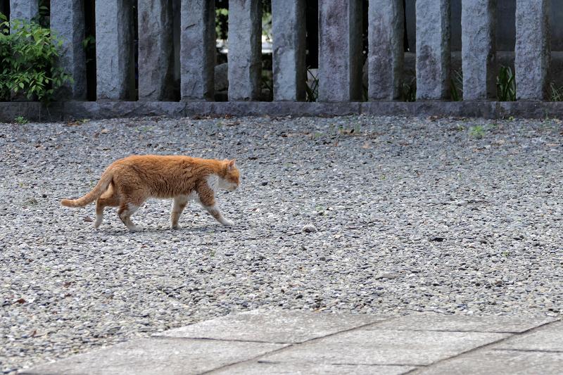 玉砂利境内を歩く茶白猫3