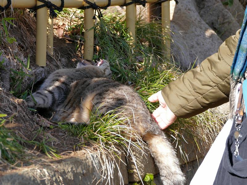 草むらでアクビをするキジトラ猫3