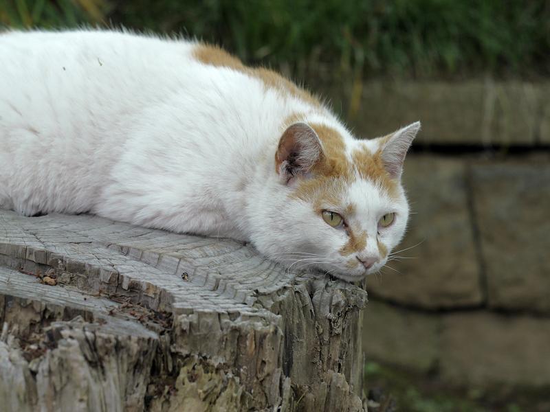 切り株上で頭を下げている白茶猫3