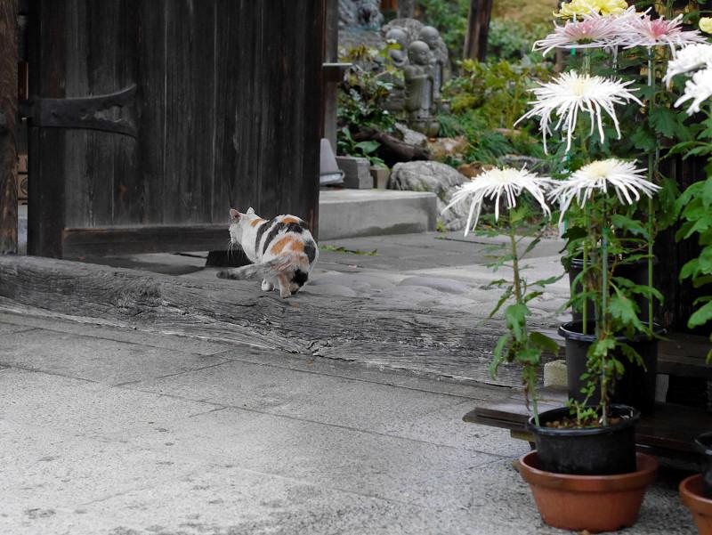 門の薄三毛猫1