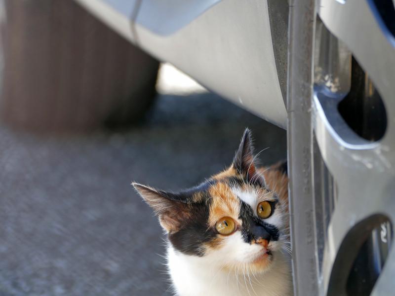 タイヤでパッツン三毛猫1