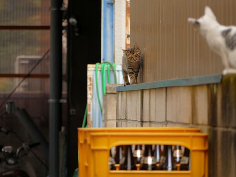 ブロック塀を動き回る仔猫たち1