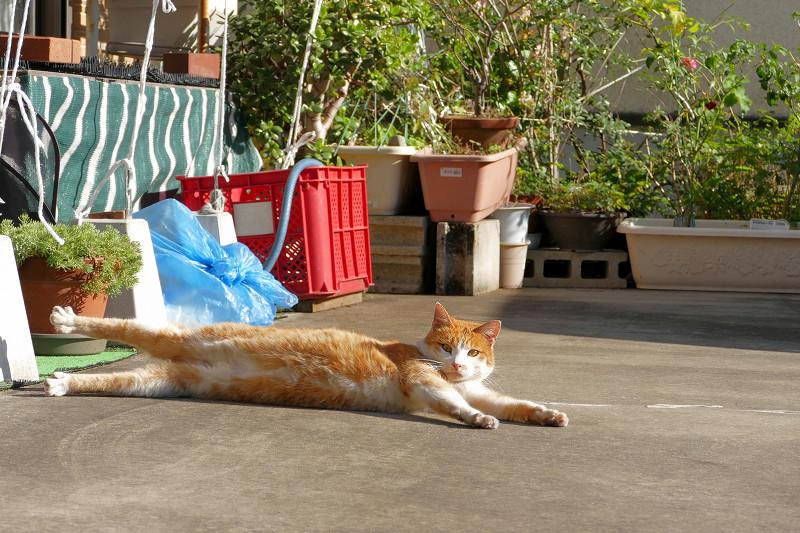 駐車場で伸びをし続ける茶白猫1