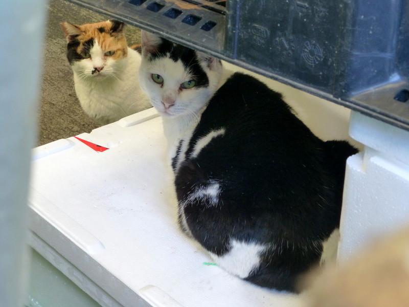 玉三郎と三毛猫