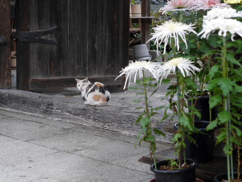 門の薄三毛猫2