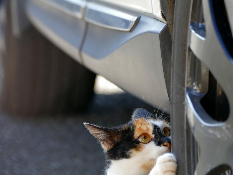 タイヤでパッツン三毛猫2