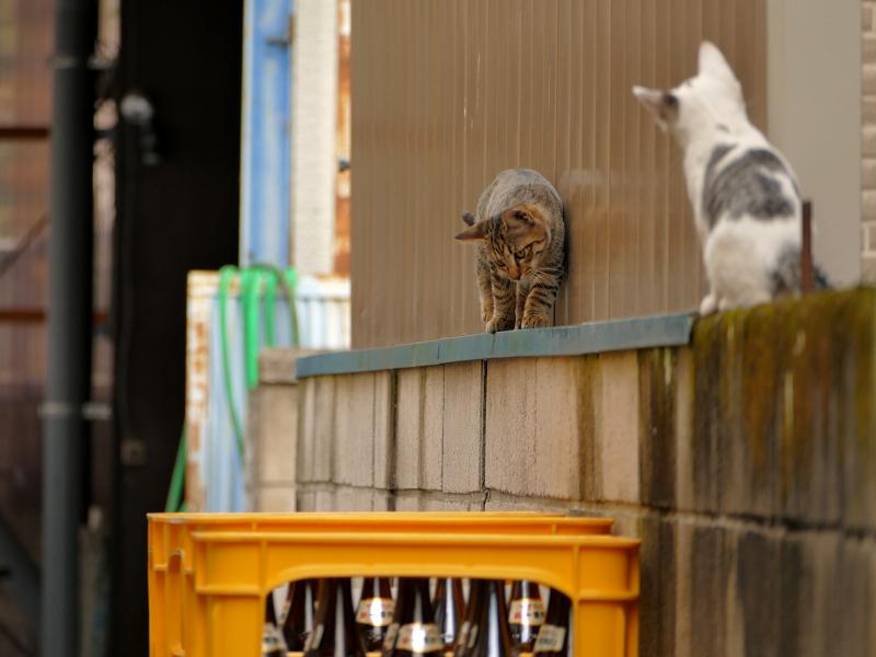 ブロック塀を動き回る仔猫たち2