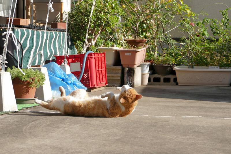 駐車場で伸びをし続ける茶白猫2