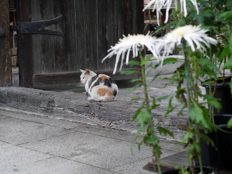 門の薄三毛猫3
