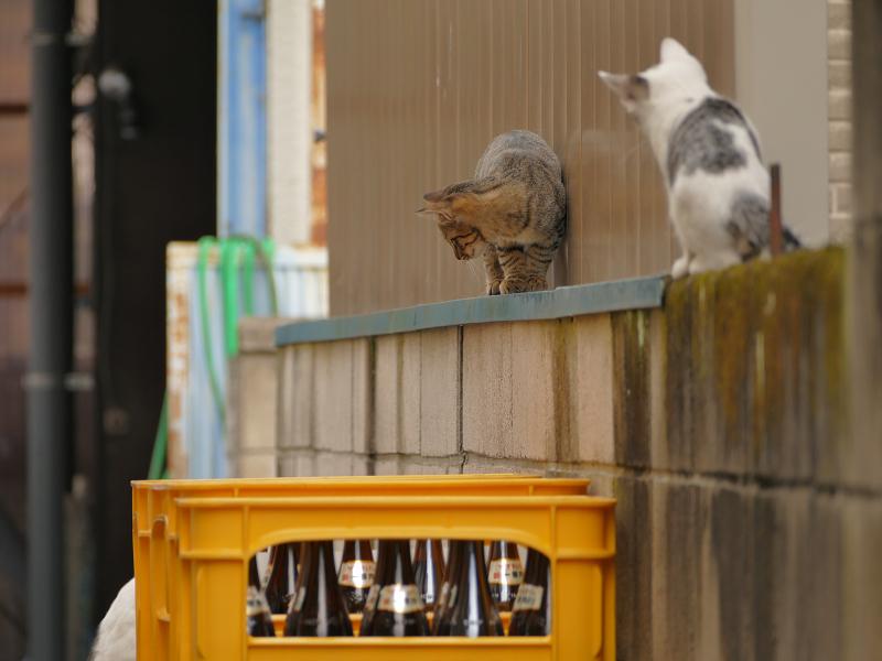 ブロック塀を動き回る仔猫たち3