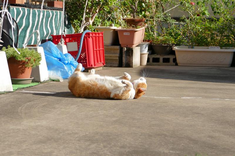 駐車場で伸びをし続ける茶白猫3