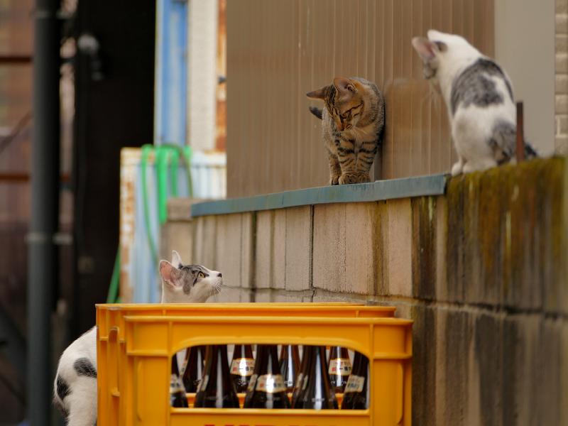 ブロック塀を動き回る仔猫たち4