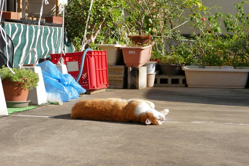 駐車場で伸びをし続ける茶白猫4