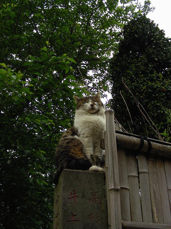 石柱に乗っている毛長のキジ白猫1