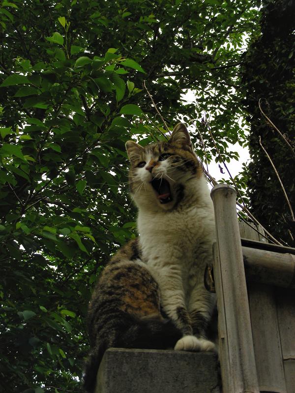 石柱に乗っている毛長のキジ白猫2