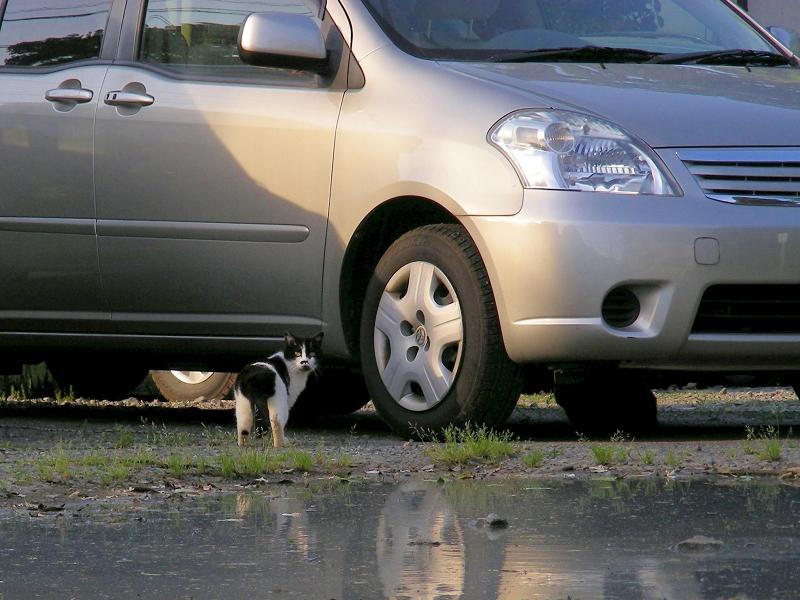水たまり駐車場の猫2
