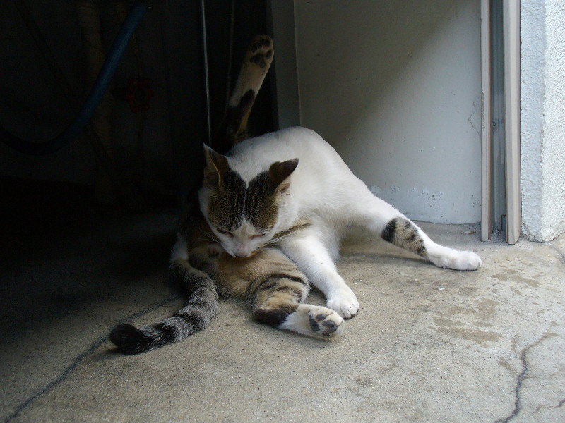 ガレージで毛づくろいしてる白キジ猫2