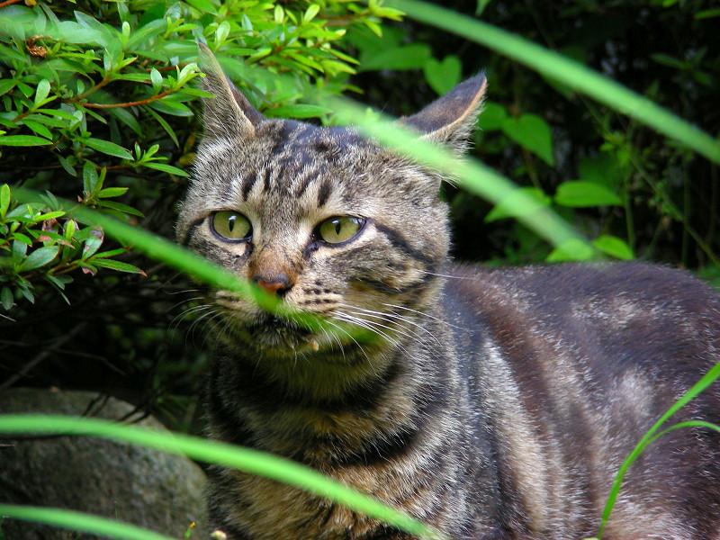 見回ってるキジトラ猫3