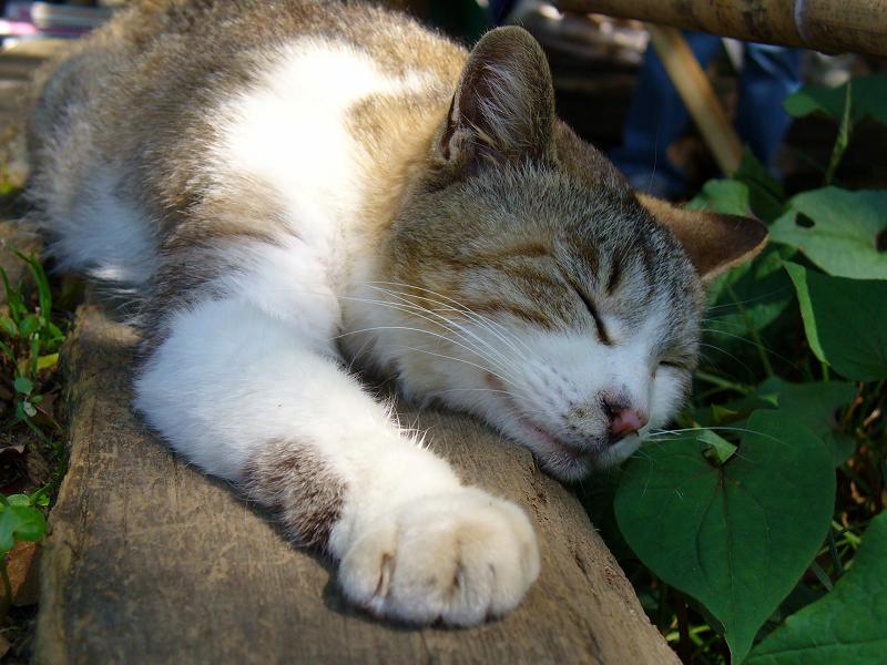 丸太ベンチのキジ白猫3