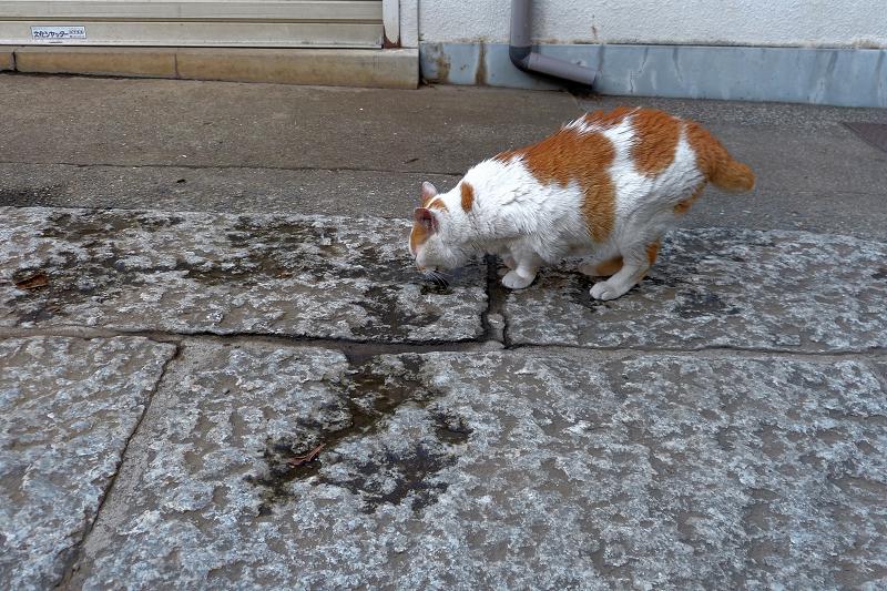 石畳の溜り水を飲む茶白猫1