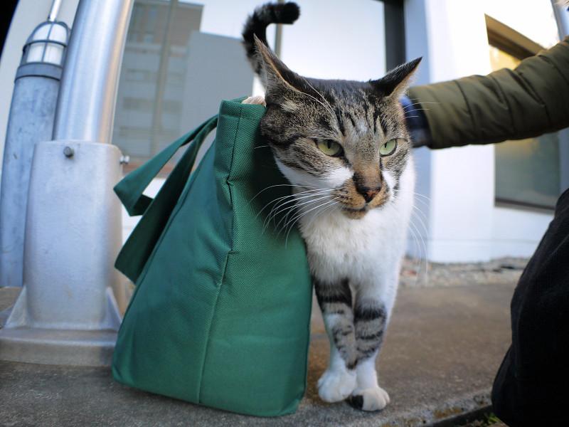 緑のバッグとキジ白猫1