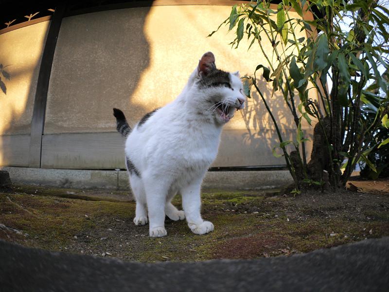 光と影と鳴く白キジ猫1
