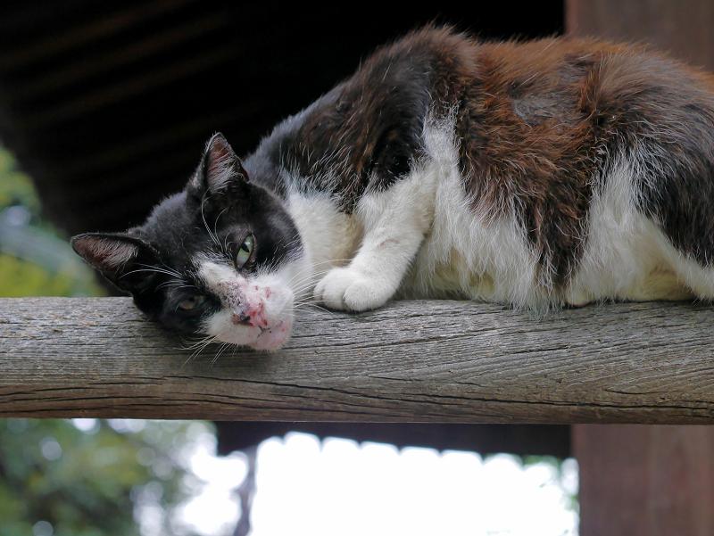 欄干と黒白猫1
